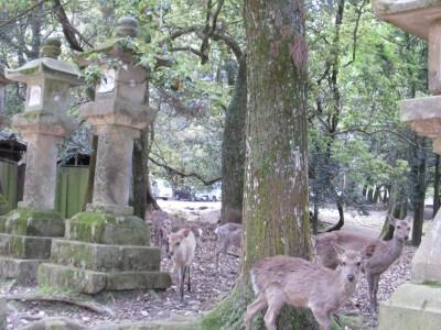Nara - cervi sacri